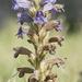 Phelipanche purpurea - Photo (c) bathyporeia, osa oikeuksista pidätetään (CC BY-SA)