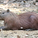 Lesser Capybara - Photo (c) Jesús Arana, some rights reserved (CC BY-NC)
