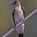 Stelgidopteryx - Photo (c) Jerry Oldenettel, algunos derechos reservados (CC BY-NC-SA)