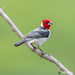 Red-cowled Cardinal - Photo (c) Norton Santos, some rights reserved (CC BY-NC)