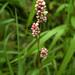 Persicaria maculosa - Photo (c) Degtyarev Nikolai Ivanovich, algunos derechos reservados (CC BY-NC)