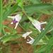 Asystasia retrocarpa - Photo (c) Botswanabugs, alguns direitos reservados (CC BY-NC)