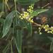 Lithraea molleoides - Photo (c) Martin Arregui, μερικά δικαιώματα διατηρούνται (CC BY-NC)