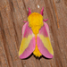 Rosy Maple Moth - Photo (c) Royal Tyler, some rights reserved (CC BY-NC-SA)