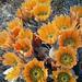 Alicoche Arcoiris de Texas - Photo (c) Richard Reynolds, algunos derechos reservados (CC BY-NC)