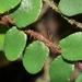 Pellaea rotundifolia - Photo (c) mattward, algunos derechos reservados (CC BY-NC)