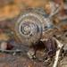 Trochulus hispidus - Photo (c) Gilles San Martin, algunos derechos reservados (CC BY-SA)