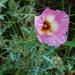 Argemone sanguinea - Photo (c) Richard Reynolds,  זכויות יוצרים חלקיות (CC BY-NC)