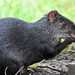Dasyprocta fuliginosa - Photo (c) David Bell, μερικά δικαιώματα διατηρούνται (CC BY-NC)