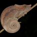 זיקיתיים - Photo (c) Frank Vassen,  זכויות יוצרים חלקיות (CC BY)