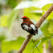 Club-winged Manakin - Photo (c) David Monroy R, some rights reserved (CC BY-NC)
