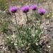 Leuzea uniflora - Photo (c) Ryzhkov Oleg, some rights reserved (CC BY-NC)