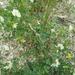Trigonella arabica - Photo (c) דבורה שיצר, osa oikeuksista pidätetään (CC BY-NC)
