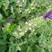 Salvia viridis - Photo (c) דבורה שיצר, algunos derechos reservados (CC BY-NC)