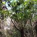 Cyathea corcovadensis - Photo (c) deboas, algunos derechos reservados (CC BY)