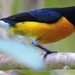 White-vented Euphonia - Photo (c) Francisco Dubón, some rights reserved (CC BY-NC)