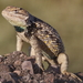 Twin-spotted Spiny Lizard - Photo (c) Nature Ali, some rights reserved (CC BY-NC-ND)