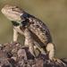 Lagartija Espinosa de Puntos Gemelos - Photo (c) Nature Ali, algunos derechos reservados (CC BY-NC-ND)