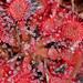 Drosera capillaris - Photo (c) Mary Keim,  זכויות יוצרים חלקיות (CC BY-NC-SA)