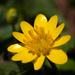 Celidonia Menor - Photo (c) syvwlch, algunos derechos reservados (CC BY)