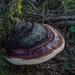 Fomitopsis - Photo (c) fungi_fanatic, alguns direitos reservados (CC BY-NC)