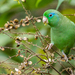 Spectacled Parrotlet - Photo (c) David Monroy R, some rights reserved (CC BY-NC)