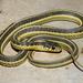 Thamnophis elegans hueyi - Photo (c) Chris Grünwald Herp.mx, osa oikeuksista pidätetään (CC BY-NC)