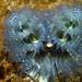 Spirobranchus spinosus - Photo (c) Robin Gwen Agarwal, algunos derechos reservados (CC BY-NC)
