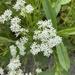 Valerianella amarella - Photo (c) madigoles,  זכויות יוצרים חלקיות (CC BY-NC)