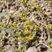 Hydrophylloideae - Photo (c) Janel Johnson, algunos derechos reservados (CC BY)