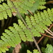 Beadferns - Photo (c) mattward, some rights reserved (CC BY-NC)