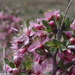 Desert Peach - Photo (c) Janel Johnson, some rights reserved (CC BY)