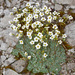 Blue Saxifrage - Photo (c) Felix Riegel, some rights reserved (CC BY-NC)