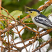 Barred Becard - Photo (c) David Monroy R, some rights reserved (CC BY-NC)