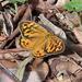 Heteronympha merope - Photo (c) Donald Hobern, osa oikeuksista pidätetään (CC BY)
