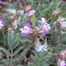 Astragalus nuttallianus - Photo (c) Nathan Taylor, algunos derechos reservados (CC BY-NC)