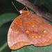 Catoblepia berecynthia - Photo (c) James Steamer, algunos derechos reservados (CC BY-NC)
