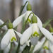 Snowdrops - Photo (c) Roman Providukhin, some rights reserved (CC BY-NC)
