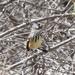 Anairetes flavirostris - Photo (c) Dominic Sherony,  זכויות יוצרים חלקיות (CC BY-SA)