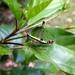 Episactidae - Photo (c) Kai Squires,  זכויות יוצרים חלקיות (CC BY-SA)
