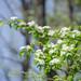 Manzanas, Duraznos Y Parientes - Photo (c) Suzanne Cadwell, algunos derechos reservados (CC BY-NC)