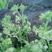 Galium judaicum - Photo (c) דבורה שיצר, osa oikeuksista pidätetään (CC BY-NC)