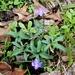 Viola palmata - Photo (c) Eric Keith, algunos derechos reservados (CC BY-NC)