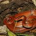 Oreocryptophis porphyraceus - Photo (c) Hao Chun Kung, algunos derechos reservados (CC BY-NC)