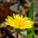 Virginia Dwarfdandelion - Photo (c) Anita Gould, some rights reserved (CC BY-NC), uploaded by Anita