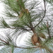 Pinus attenuata - Photo (c) dloarie, μερικά δικαιώματα διατηρούνται (CC BY), uploaded by Don Loarie