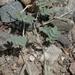 Astragalus infractus - Photo (c) vladimir_epiktetov, algunos derechos reservados (CC BY-NC)