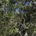 Denhamia pittosporoides - Photo (c) Martin Bennett, μερικά δικαιώματα διατηρούνται (CC BY-NC)