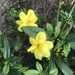 Primrose Jasmine - Photo (c) taisturdivant, some rights reserved (CC BY-NC)