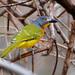 Malaconotus blanchoti - Photo (c) Ian White,  זכויות יוצרים חלקיות (CC BY-ND)